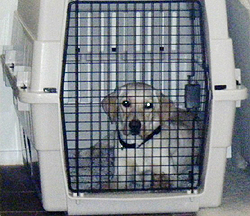 Cage training ensures the canine